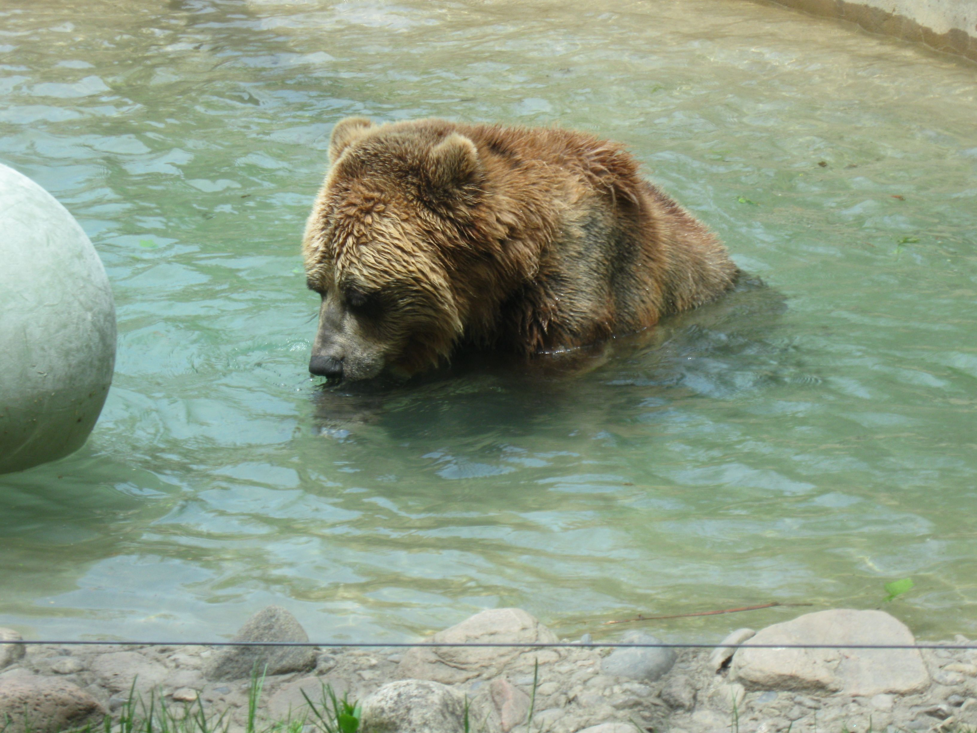 Grizzly Bear chillin' in the water - Toronto Zoo