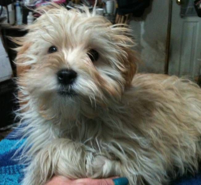 yorkie x maltese the dog I want ) Yorkie, Cute animals