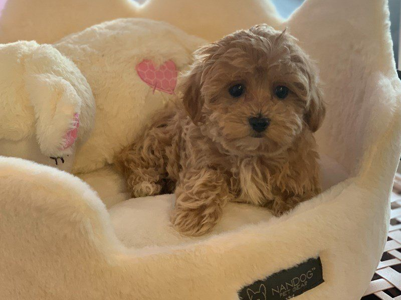 Visit Our Maltipoo Puppies For Sale Near Parsippany New Jersey