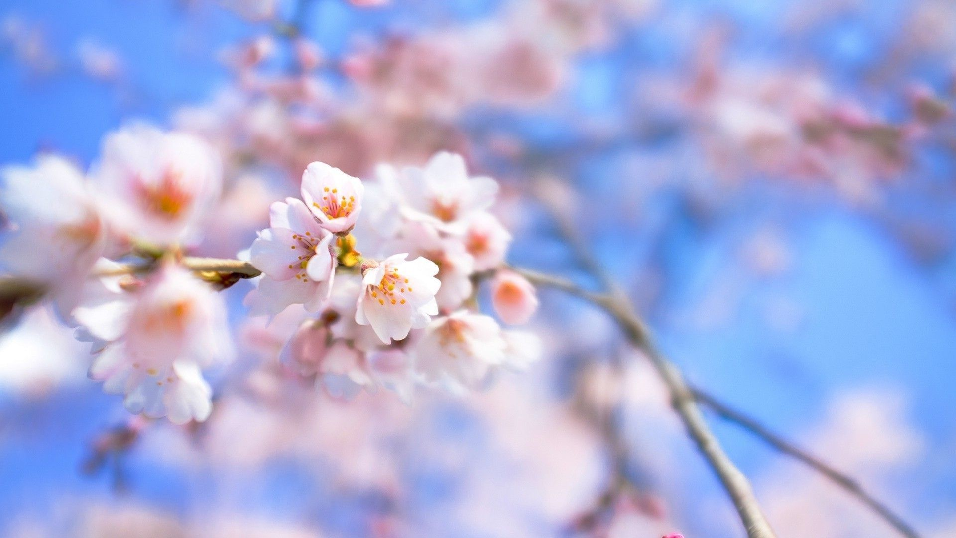 Beautiful Cherry Blossom Desktop Wallpapers Jpg 1920 1080