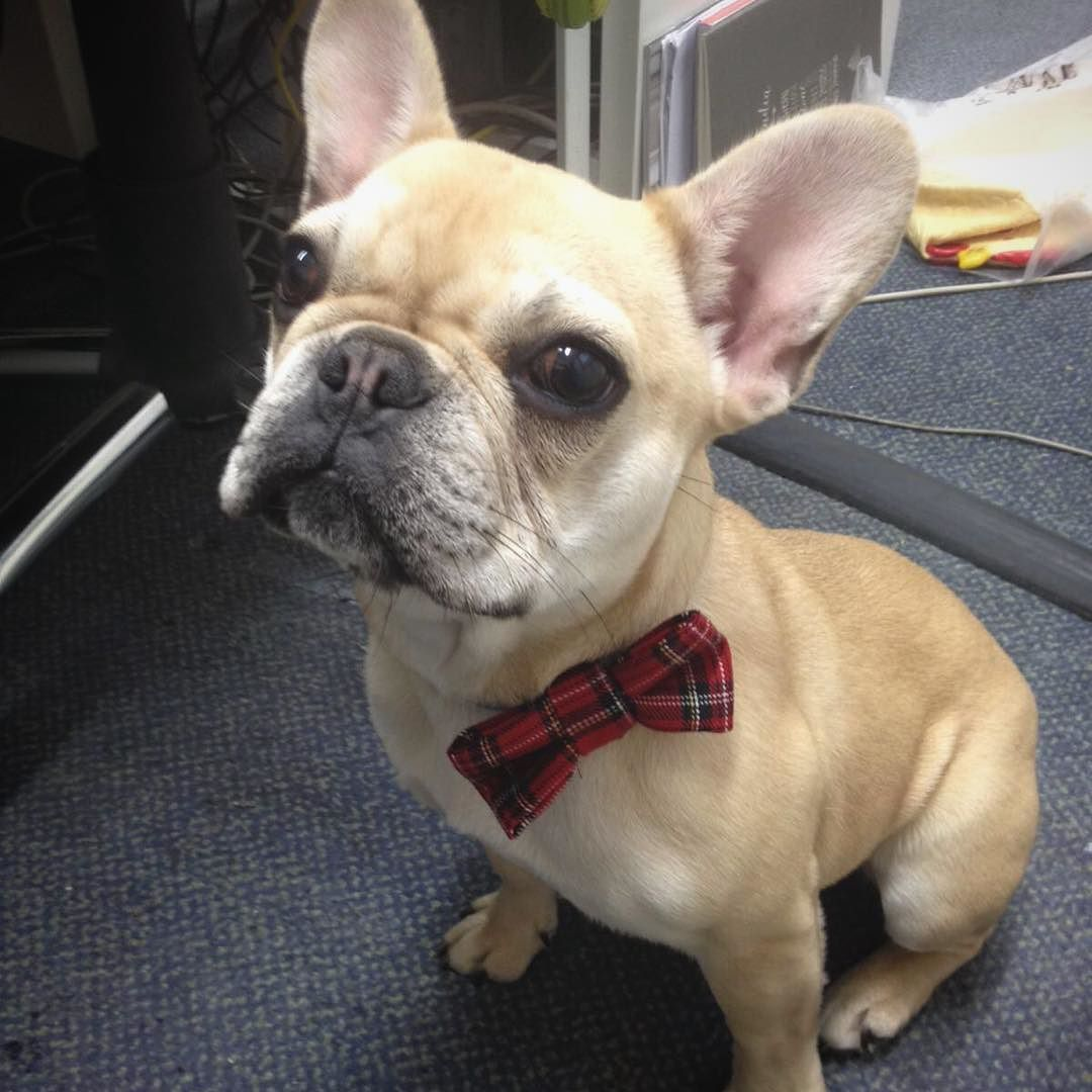 How cute does @beythefrenchie look in a medium tartan bow?! What do you think? Should I do dog bow ties too????  #handmade #madetoorder #madeintheuk #bowtie #doggybowtie #dogbowtie #doghairbow #dog #puppy #puppylove by turtleandbug
