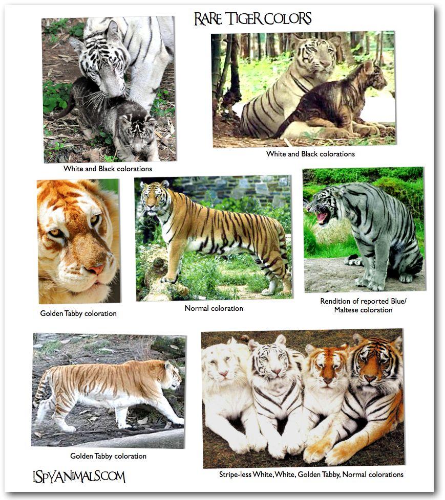 Typesoftigers8.jpg Animal Pictures Animals, Cat