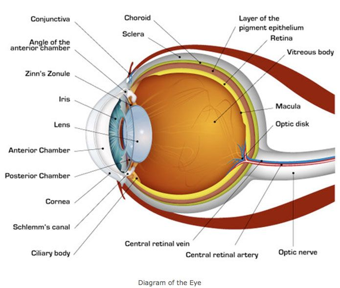 Human Eye Diagram Human Eye Diagram Eye Anatomy Eye Facts