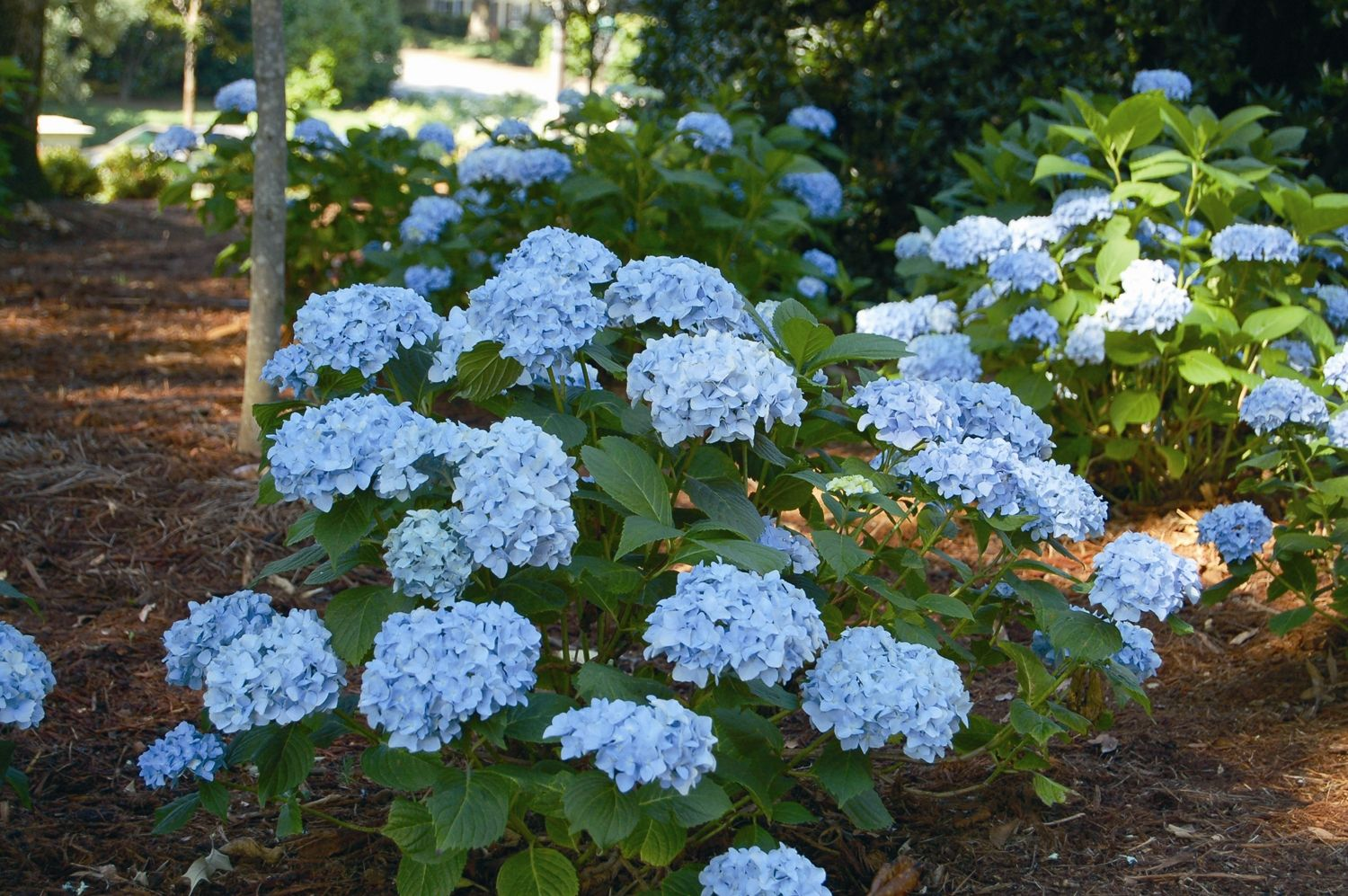 Magnificent Mini Penny Hydrangea Find It At A Home Depot Or Lowe S Near You Plants Hydrangea Hydrangea Care