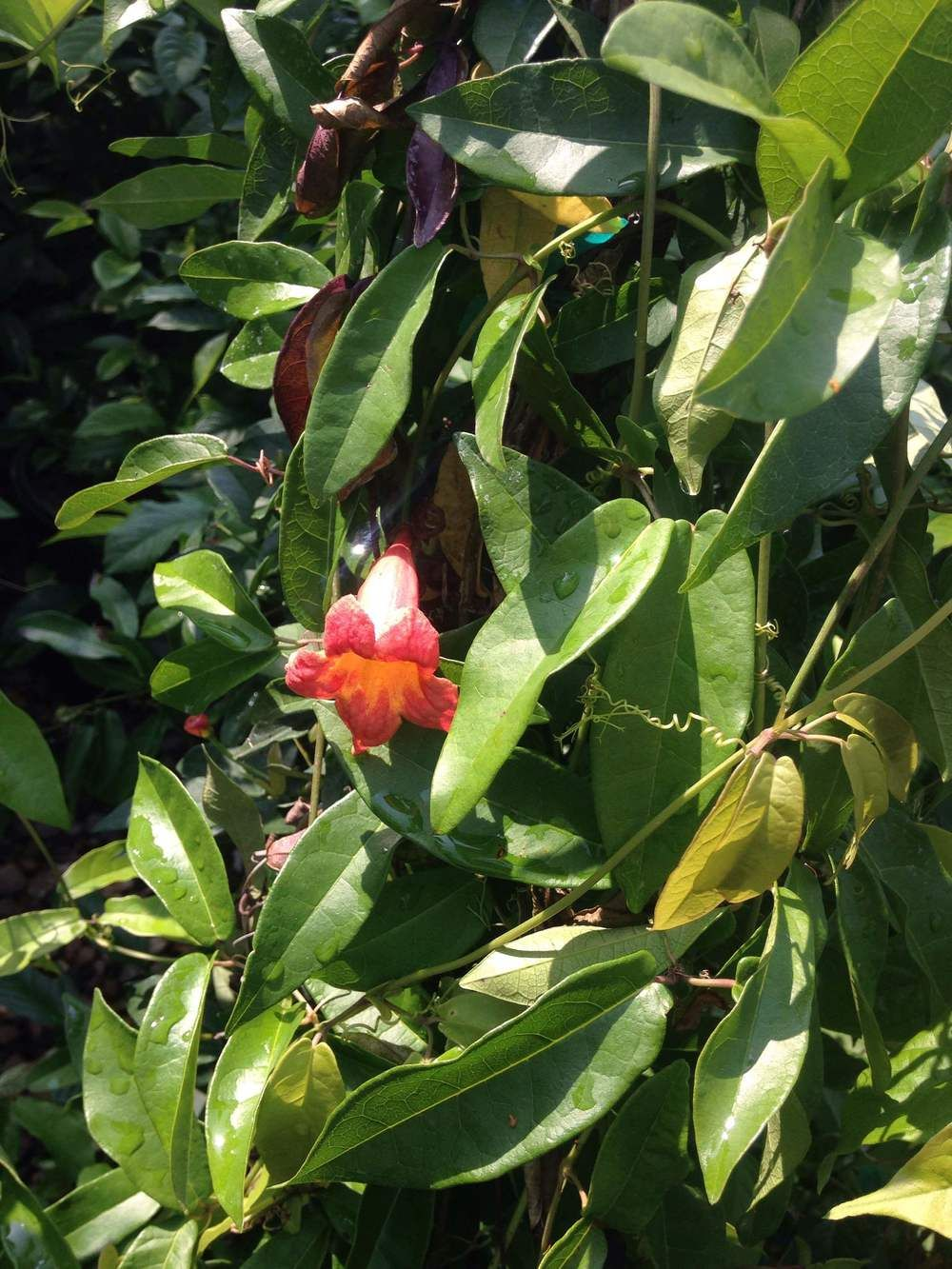 Vines for Houston Gardens. On the Blog — Falon Land Studio LLC. Landscape architecture. Garden Design