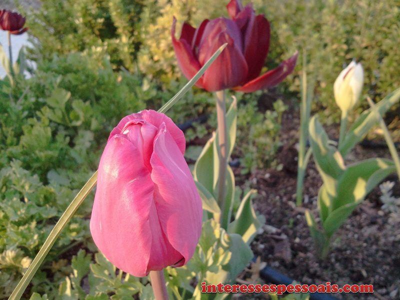 A Túlipa - tudo sobre tulipas