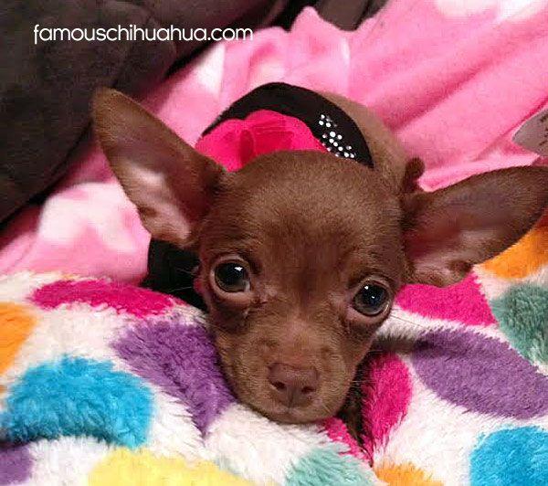 Chocolate Teacup Chihuahua Chihuahua Puppies Cute Chihuahua