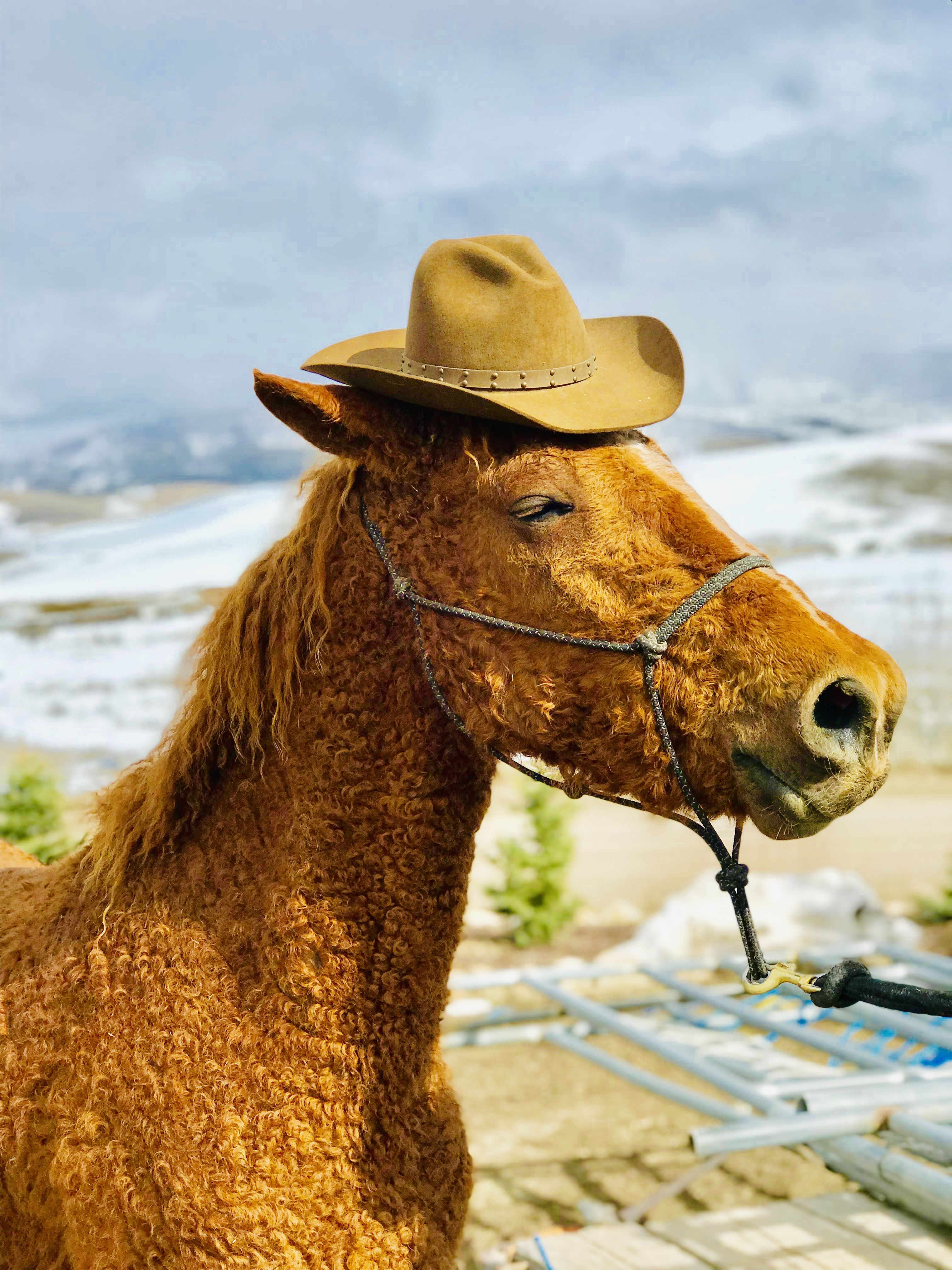 Chester Curly horse, Trail horses for sale, Horse anatomy