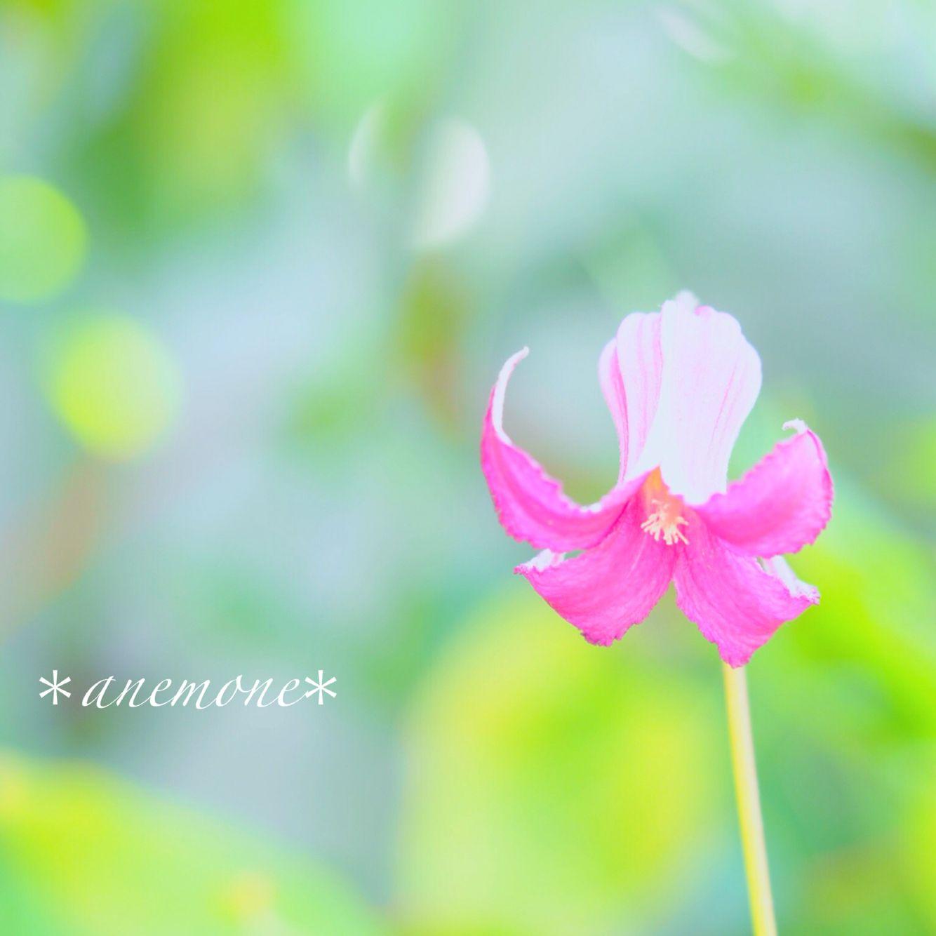 #クレマチス#Clematis#flower