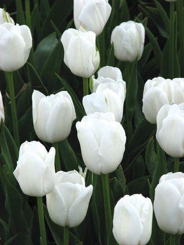 Brent And Becky S Bulbs Tulips Garden Organic Gardening Magazine Tulips