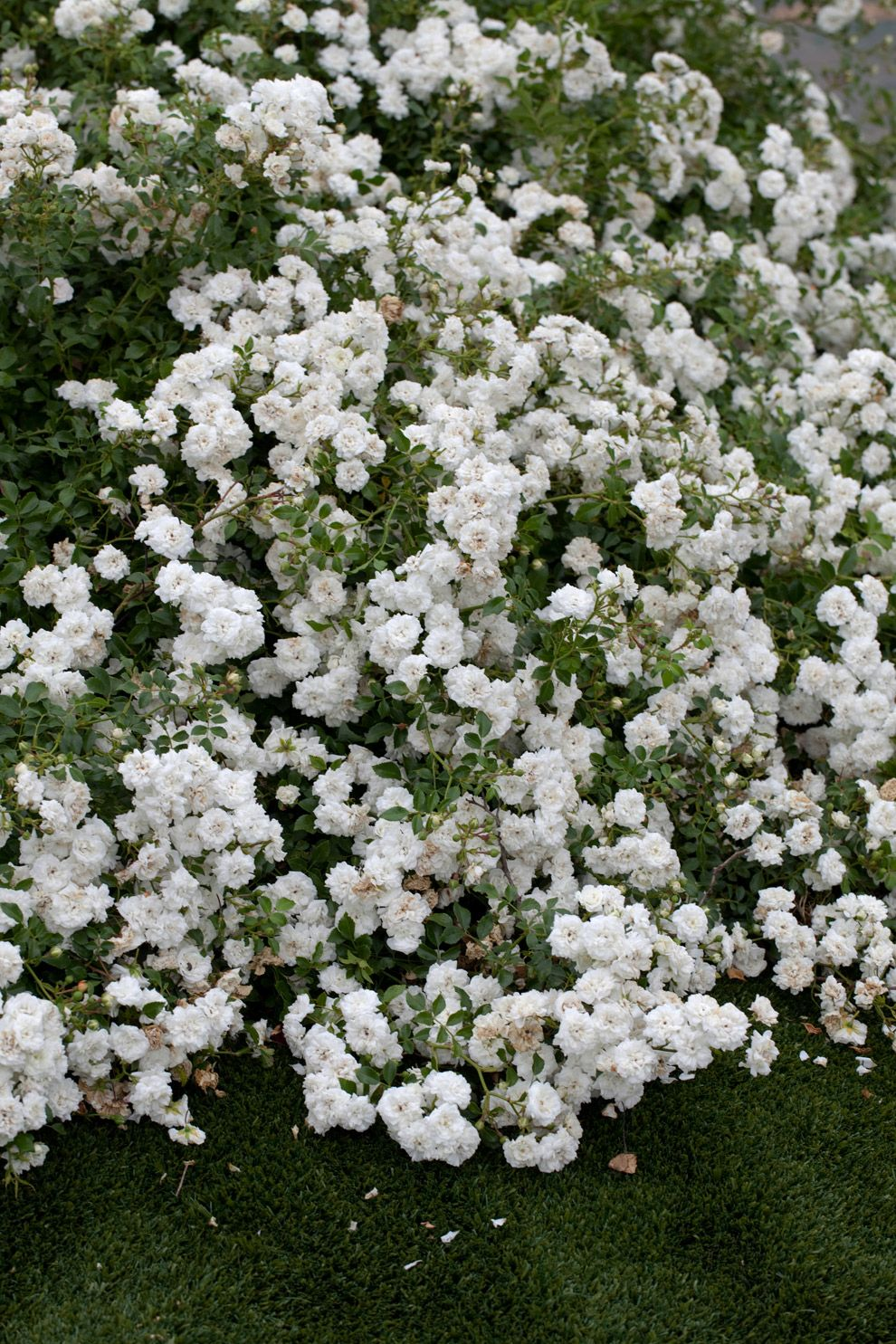 Icy White Drift Rose Cross Between Full Sized Ground Cover Roses