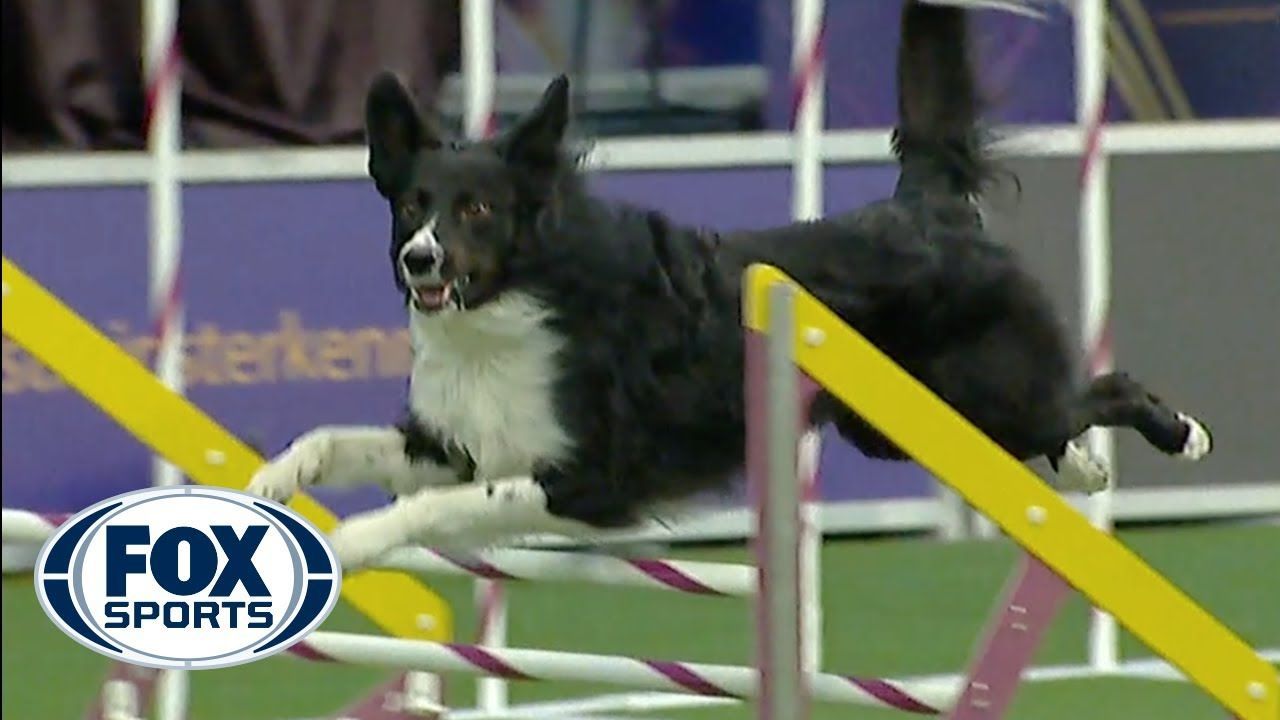 Verb captures 2019 WKC Masters Agility Grand Champion