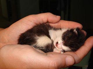 Bolinhas de Pêlo: Como tratar de um gatinho recém-nascido