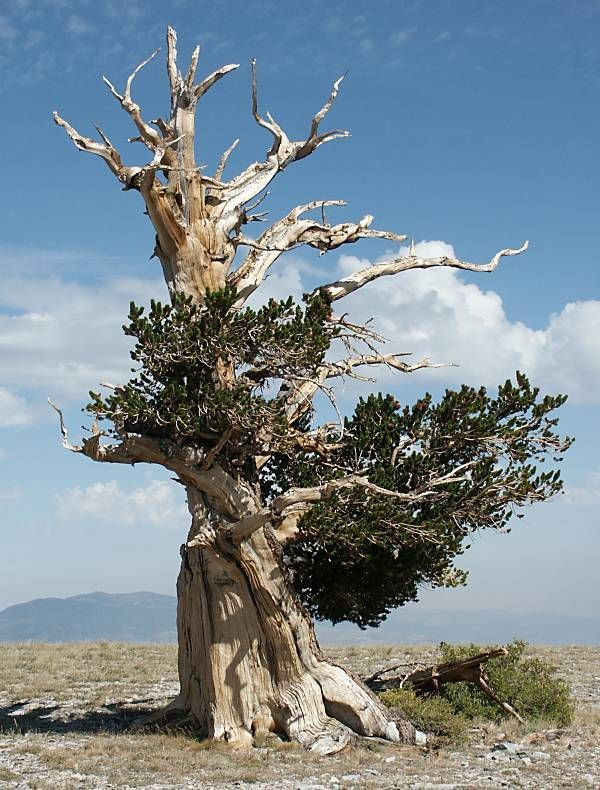 #earth #fate #Oldest #oldest bonsai trees #Trees What is the fate of the oldest trees on earth?        Bristlecone Pine, the oldest living organism in the world. Currently, the oldest is located in the White Mountains in California, and is 5,063 years old.