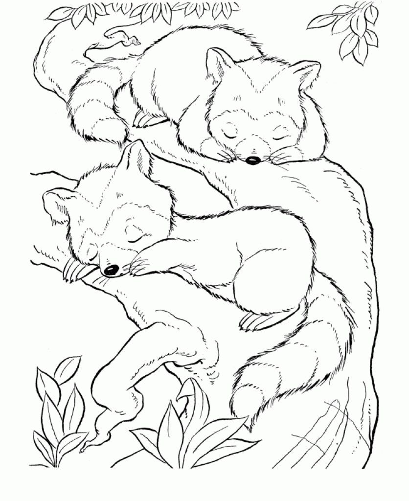 baby raccoon coloring pages - Raccoon Coloring Pages