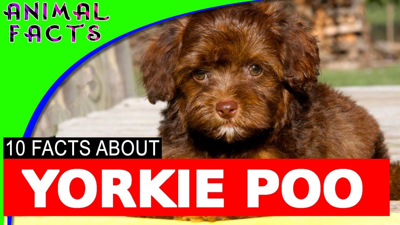 10 Yorkie Poo Yorkipoo Dogs 101 Facts Yorkie Poodle Mix