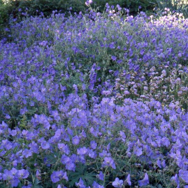 G ranium vivace orion 60 cm floraison 06 09 au pied des for Plante vivace rampante