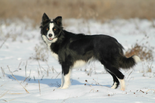 Jlm Border Collies Breeder Of Border Collie Puppies And Working Dogs For Sale Border Collie Puppies Dogs Border Collie Breeders