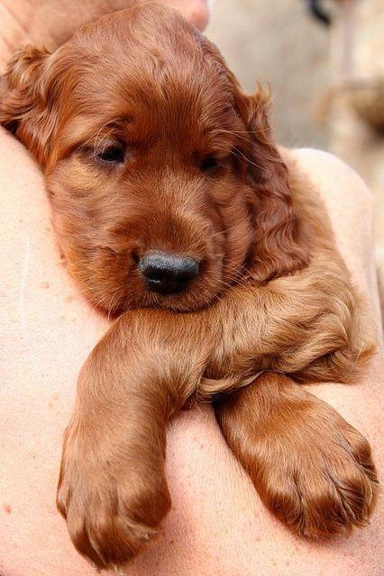 Sleepy Little Baby English Golden Cocker Spaniel Irish Setter Puppy Setter Puppies Puppies