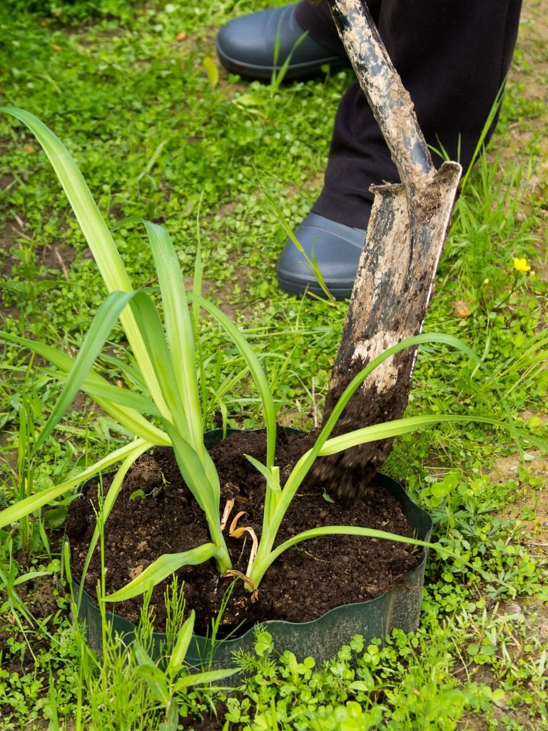 47++ When is the best time to transplant daylilies info