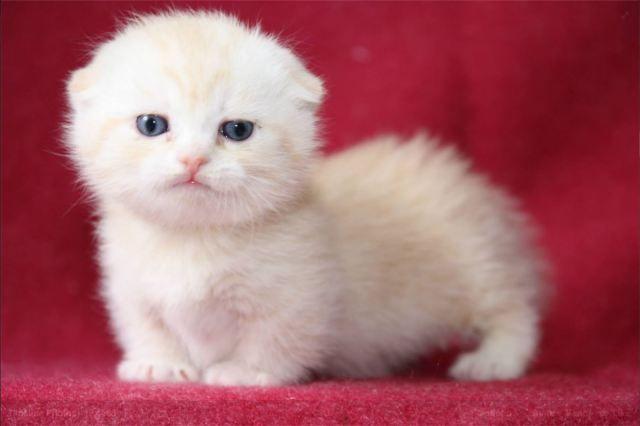 Facebook - Munchkin Cat Thailand | SCOTTISH FOLDS & MIX