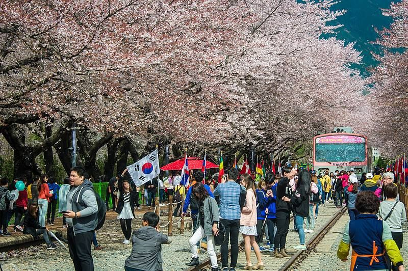 Cherry Blossom in South Korea - Landcruising Adventure - Cherry Blossom season in Korea (©photocoen)