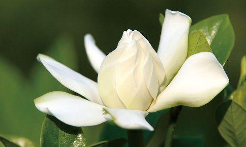 Gardenia クチナシ 花言葉 誕生花 梔子 クチナシ ガーデニア 花言葉