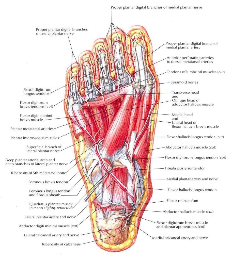 human foot anatomy human foot anatomy anatomy of human. Black Bedroom Furniture Sets. Home Design Ideas