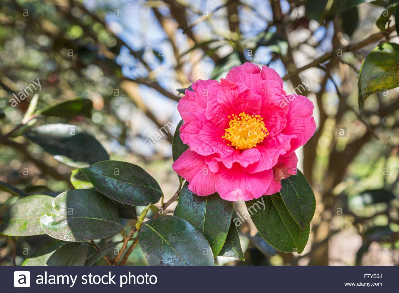Download This Stock Image Pink Camellia 39 Milo Rowell 39 With Yellow Stamens In Flower At Rhs Gardens Wisley Surrey Engla Flowers Stock Photos Camellia
