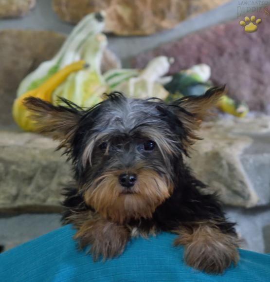 Deigo Yorkshire Terrier Puppy For Sale In Sugarcreek Oh Lancaster Puppies Yorkshire Terrier Lancaster Puppies Yorkshire Terrier Puppies