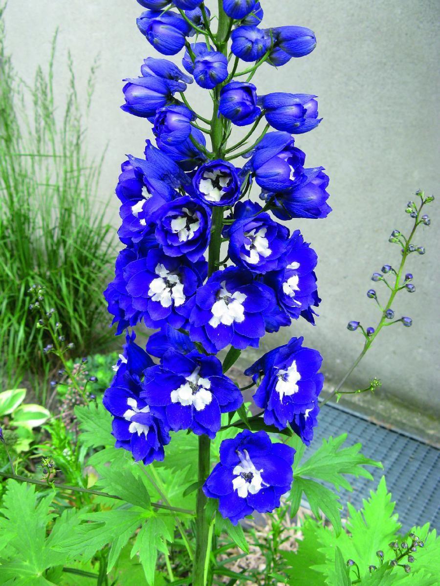 Magic Fountain Delphinium Dark Blue White Bee