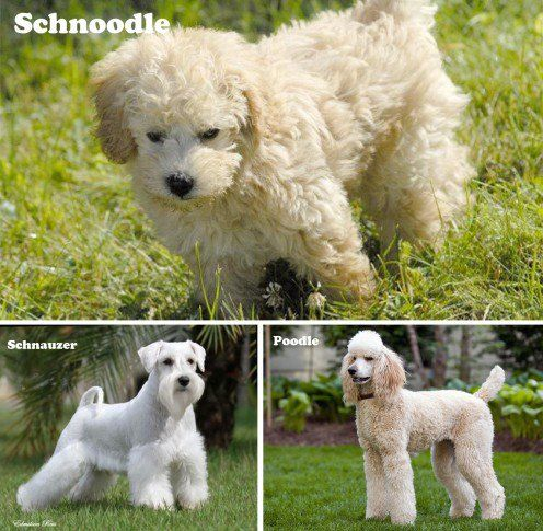10 Most Popular Designer Dogs Of Small Or Toy Category Poodle