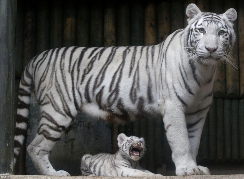 White Bengali Tiger