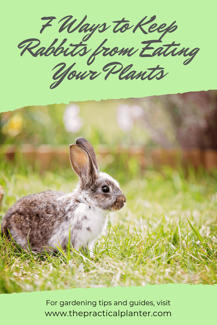 How to Keep Rabbits from Eating Your Plants (7 Effective Methods is part of Garden pests, Slugs in garden, Rabbit, Plants, Rabbit eating, Rabbit deterrent - There are a lot of animals common to the backyard that dine on garden plants, whether you are growing ornamental flowers or have a plot of vegetables out there  The one that strikes the most fear into the hearts of the gardener is the rabbit  A rabbit is unmistakable in the garden and needs no