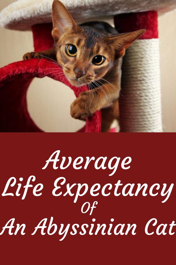 33 Abyssinian Cat Ideas In 2021 Abyssinian Abyssinian Cats Cats