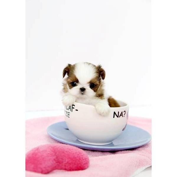 Shih Tzu Affectionate And Playful Teacup Puppies Teacup Shih