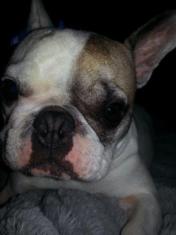 Pin By Lori Barker On Rambo Boston Terrier French Bulldog Terrier