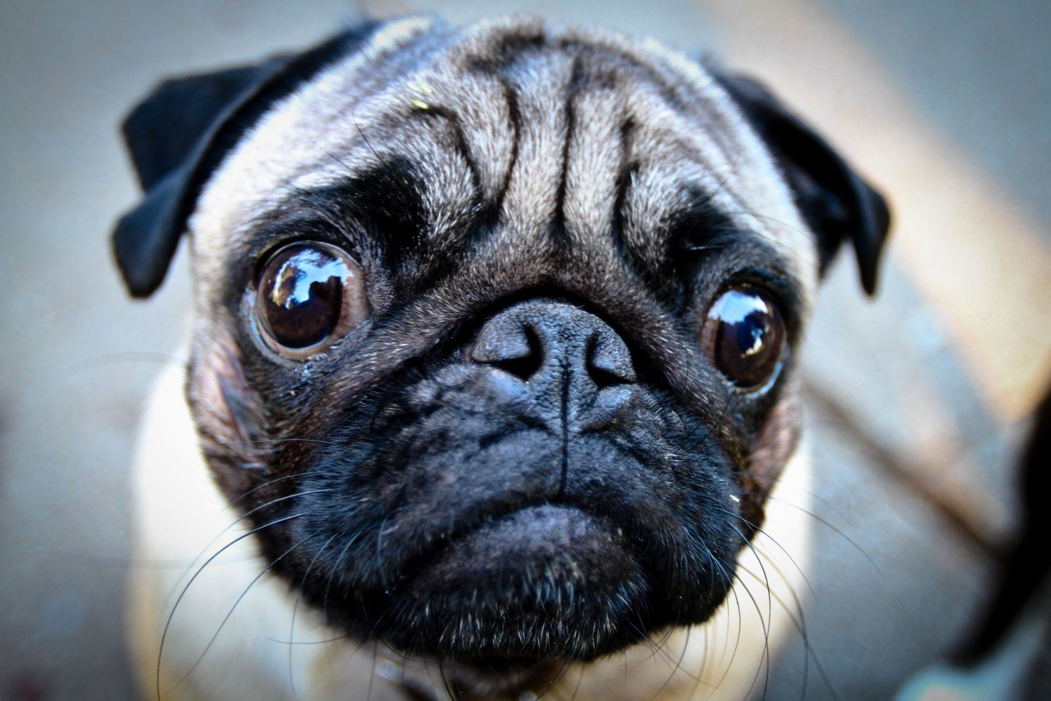 Pug Hd Wallpapers 1080p High Quality Pugs Funny Cute Pugs Funny Pug Videos