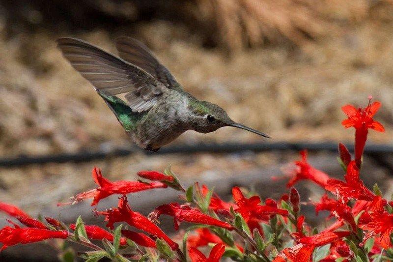 Hummingbird Gardening California native plants