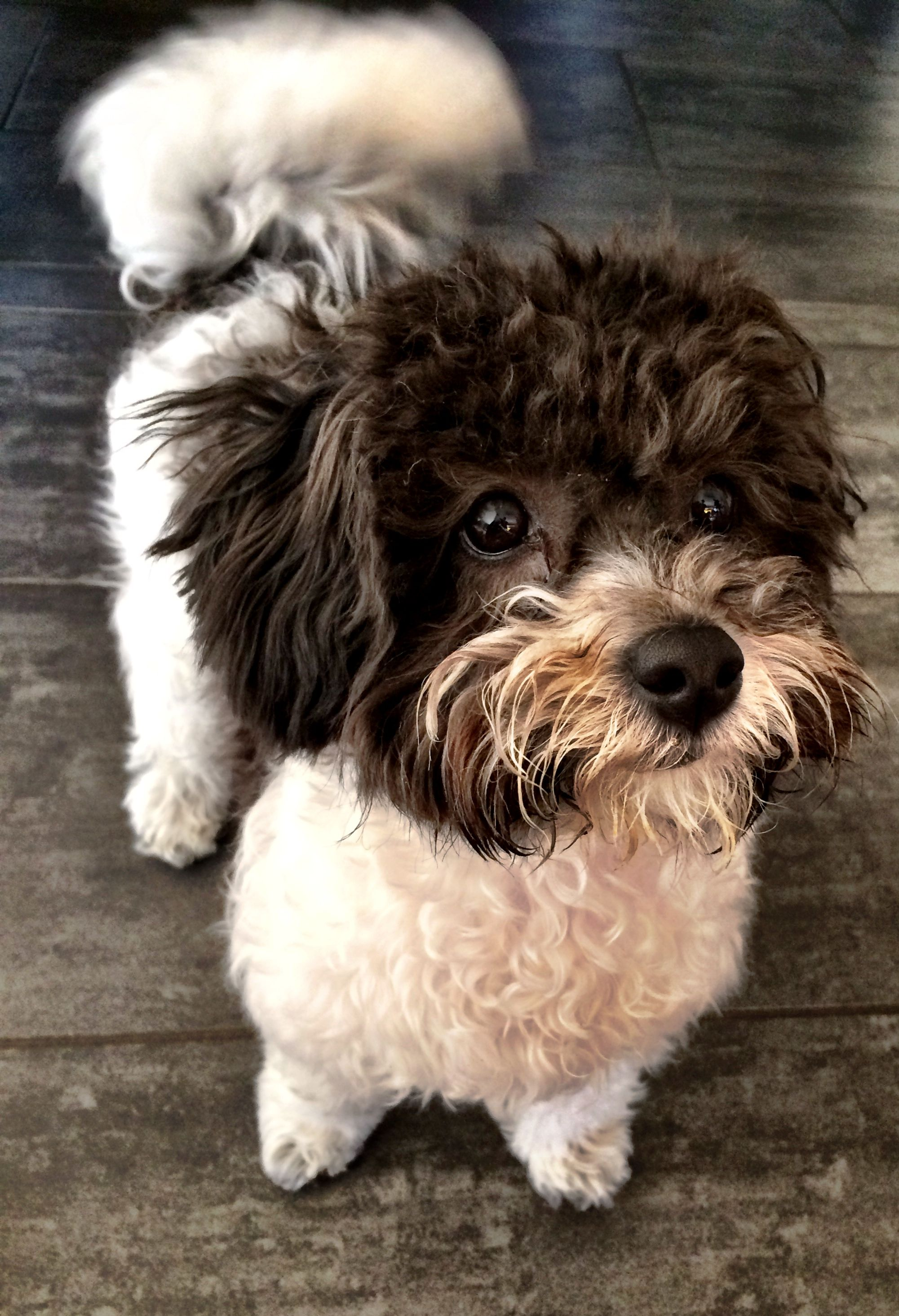 Pin By Hardik Bafna On Punky Bolonka Zwetna Purebred Dogs Dog List Dog Love
