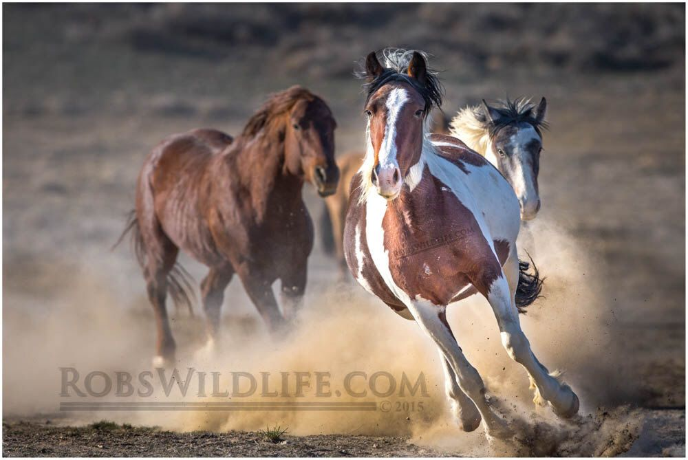 Galloping Paint Wild Horse, Horse Photography, Rob's Wildlife, Gifts for Horse Lovers, Horse Wall Art Home Decor by RobsWildlife on Etsy https://www.etsy.com/listing/228814978/galloping-paint-wild-horse-horse