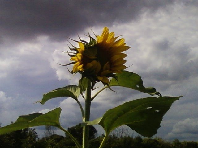 Sunflower in Jefferson, WI