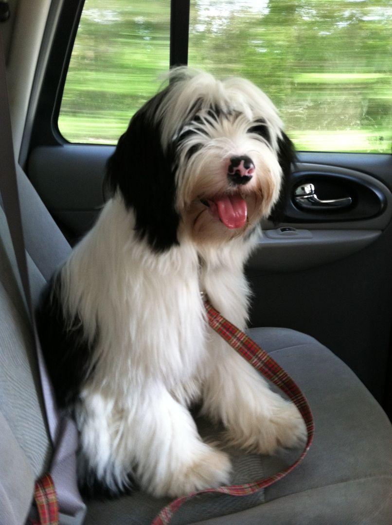 Tibetan Terrier Puppies For Sale Minneapolis Mn Tibetan Terrier