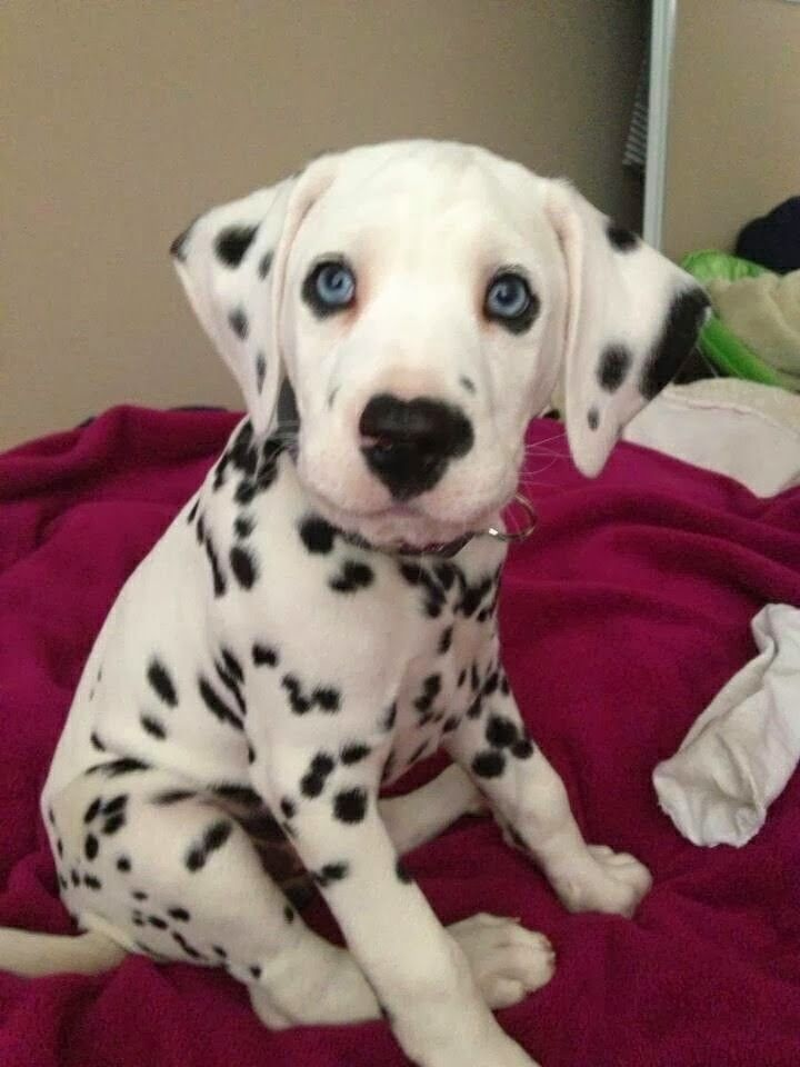 Dalmatian pup-- Dalmatians are a very active breed that need a lot of attention and space to run.