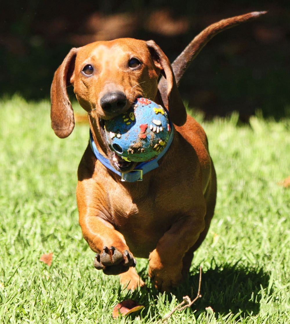 Best Dog Food For Dachshunds With Allergies Dog Training Dogs
