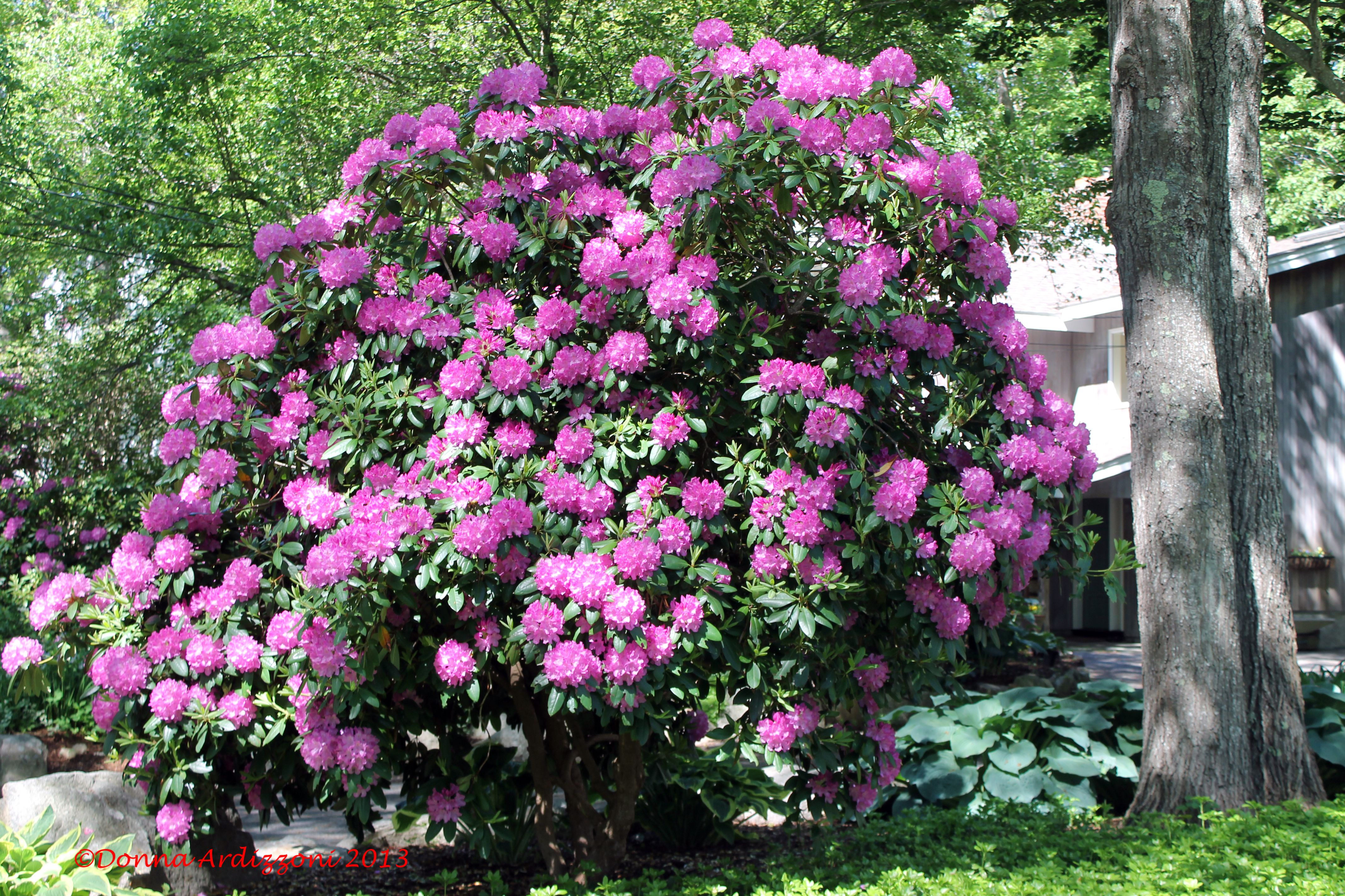 Now That Is A Rhododendron Bush Rhododendron Plants Trees And