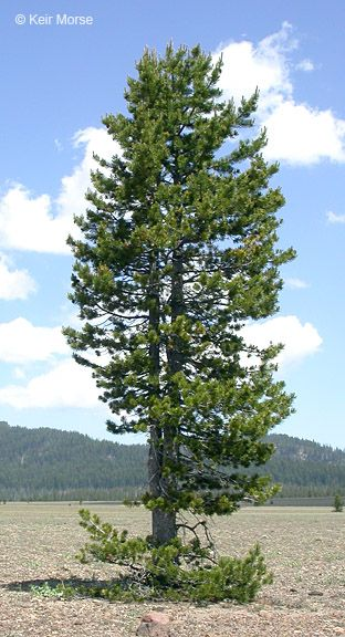 Lodgepole Pine Tree Is Native To Central Oregon And Very Hardy Trees To Plant Beautiful Tree Tree