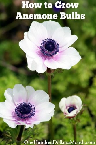 How To Grow Anemone Bulbs One Hundred Dollars A Month Anenome Flower Anemone Flower Flower Landscape