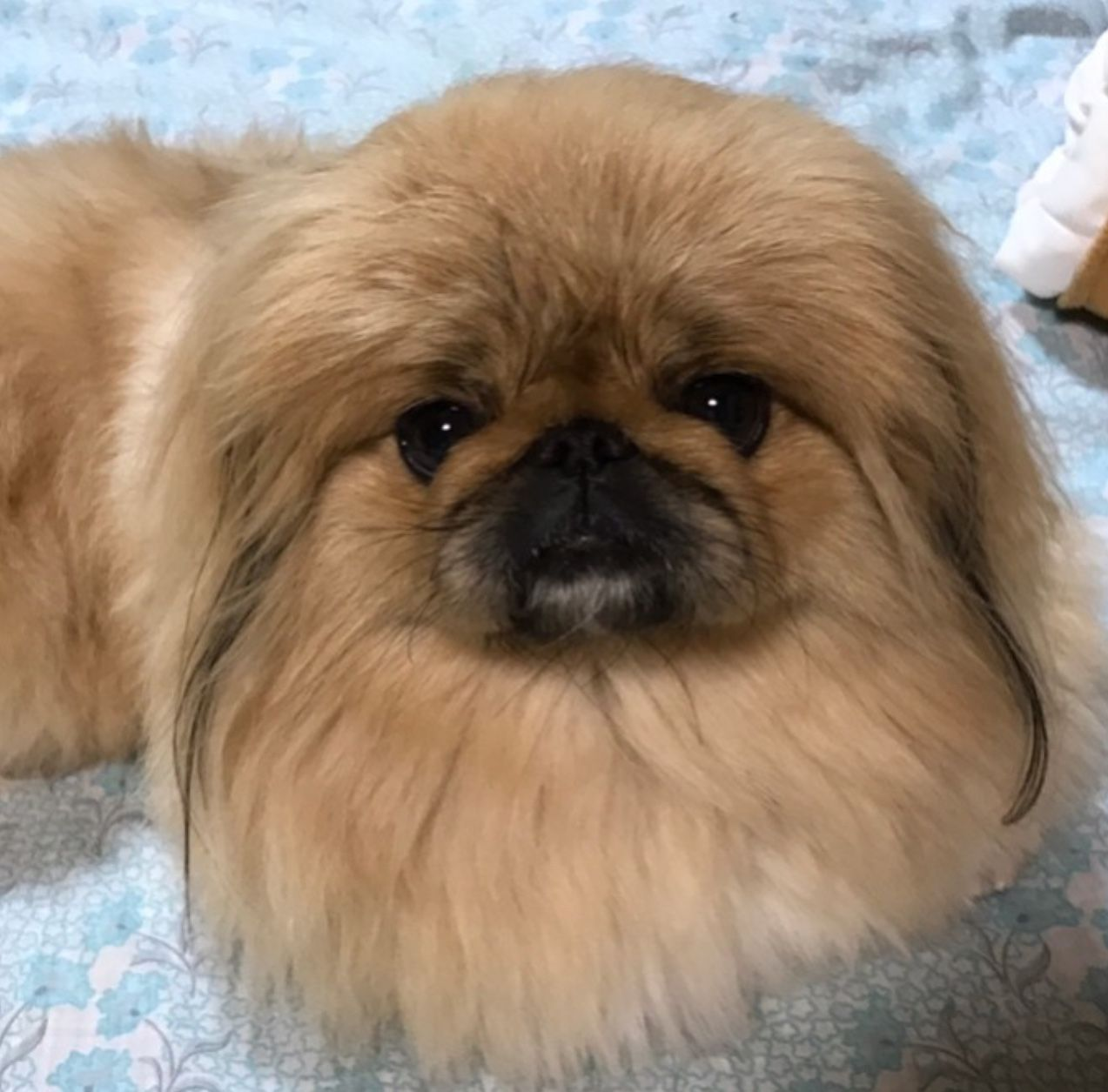 This Is The Only Breed My Brother Would Buy Animals Pekingese