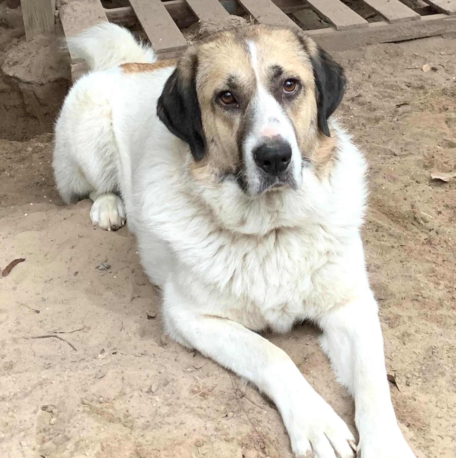 Texas Huntsville Needs Adoption Allie Is An Adoptable Anatolian Shepherd Searching For A F In 2020 Anatolian Shepherd Dog Anatolian Shepherd Puppies Anatolian Shepherd